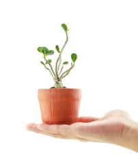 Hand holding a azalea bonsai tree in flower pot