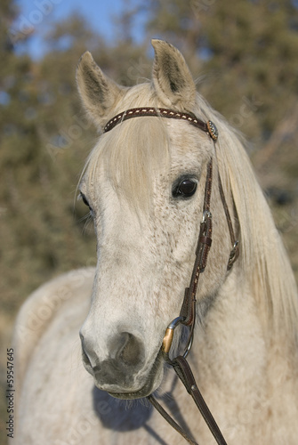 Older Flea Bitten Gray Arabian Gelding