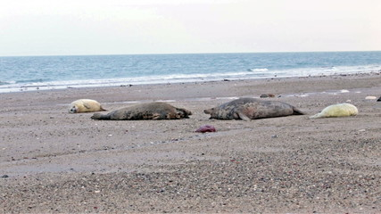 Mother seals with baby seals at the beach