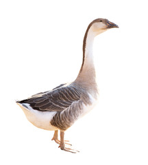 goose on white background