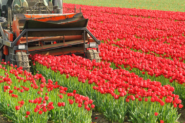 Agricultural machine cuts off the flowers to raise the bulbs