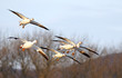 Snow Geese Fly In For Landing