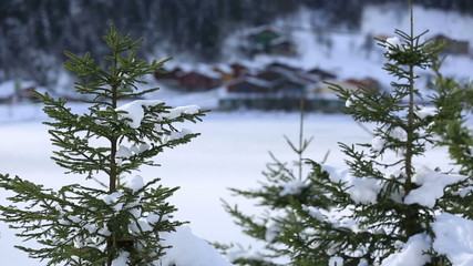 pine tree and background winter house