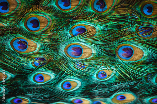 Deurstickers Vogel Colorful peacock feathers,Shallow Dof