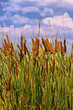 HDR Image of Cattails (Typha orientalis)