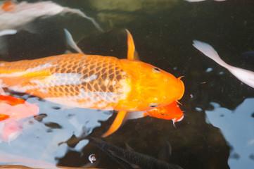 Koi or carp chinese fish in water