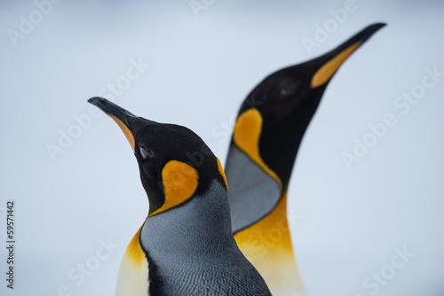 Plexiglas Poolcirkel King Penguin Couple in love