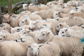 Welsh Mountain Sheep