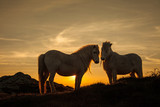 Wild Welsh Pony's
