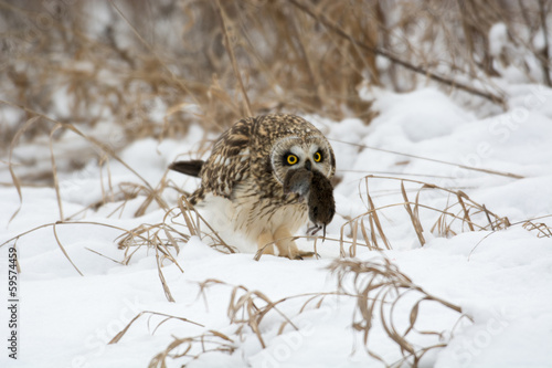 Plexiglas Uil Short Eared Owl
