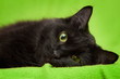 Beautiful black cat with green eyes lrelaxing on green blanket
