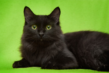 Beautiful black cat with green eyes lying on green blanket