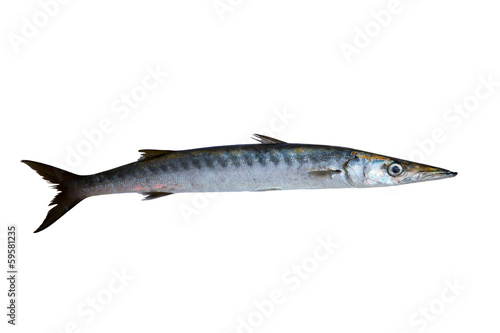 Barracuda fish Sphyraena isolated on white