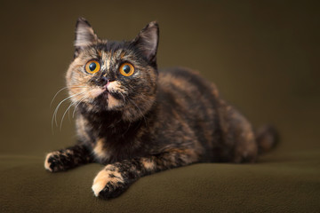 Beautiful tortoiseshell cat with yellow eyes lying on blanket