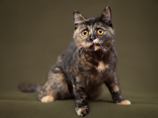 Beautiful tortoiseshell cat with yellow eyes sitting on blanket