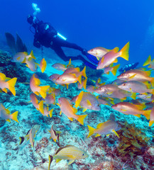 Diver and School of Snappers, Cuba