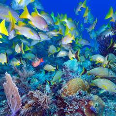 School of Snappers, Cayo Largo, Cuba