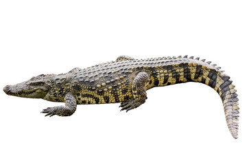 Crocodile yellow stripes on white background.