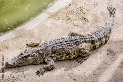 Crocodile in Thailand Farm.