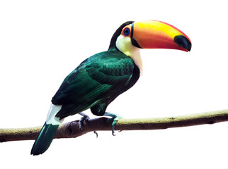 Toco Toucan  over white