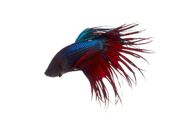 Fighting fish on white a