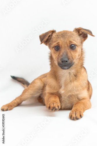 Small dog lying on white background with a raised paw