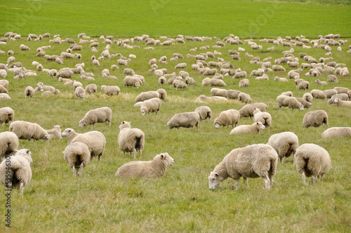 Deurstickers Schapen Flock of sheep in New Zealand