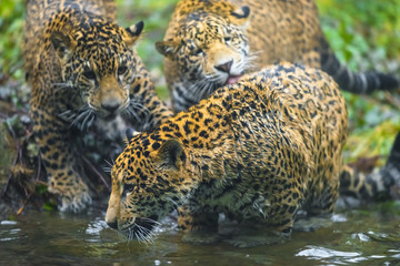 Three young Jaguars playing, grooming each other near the water