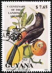 stamp printed in Guyana shows ostinops decumanus