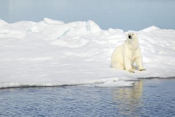 Polar bear at Svalbard