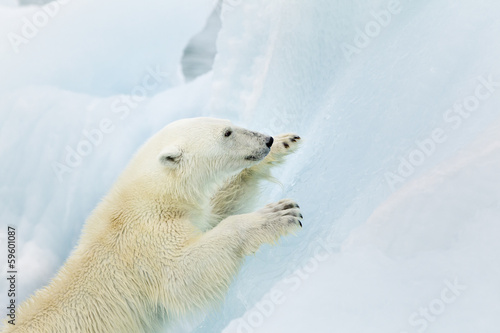 Polar bear climbing at Svalbard