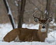Whitetail Deer laying in the snow