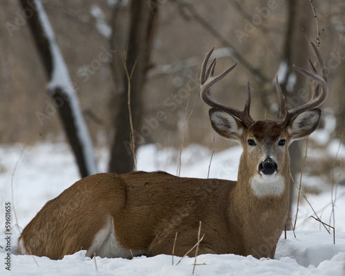 Papiers peints Cerf Whitetail Deer laying in the snow