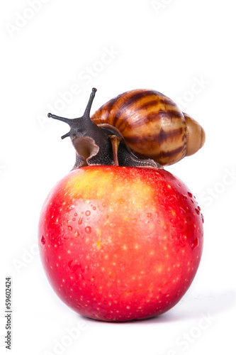 Black snail on red apple isolated white background