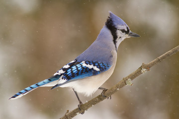 Blue Jay and Snow
