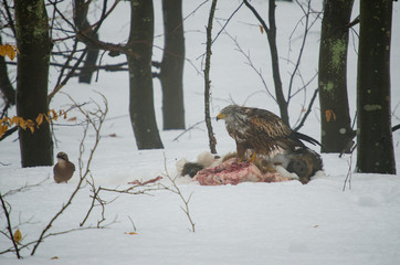 Red kite on carcasse of wild boar