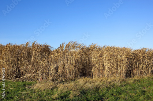 miscanthus background