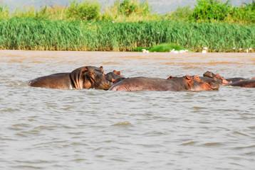 Hippo on Chamo Lake, Ethiopia