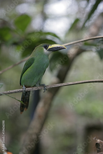 Keuken foto achterwand Toekan Emerald toucan, Aulacorhynchus prasinus