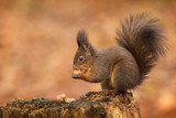Red squirrel raiding the nuts poster