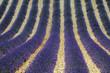 campi di lavanda in provenza