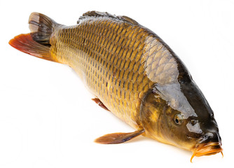 carp on a white background