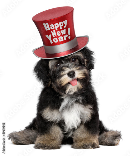 Cute havanese puppy dog is wearing a red Happy New Year top hat