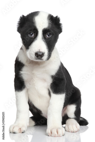Central asian shepherd puppy portrait