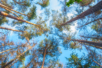 pines in the forest