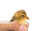 Bird  in human hand isolated on white