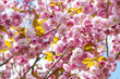 Cherry blossoms on spring cherry tree branches