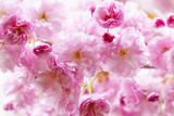 Cherry blossoms on spring cherry tree - 59615230