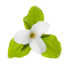 White Trillium flower isolated