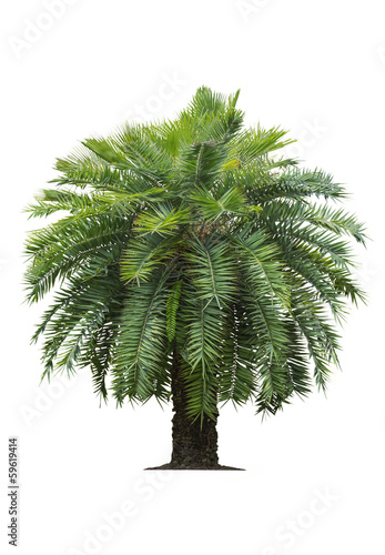 Tropical palm tree on white